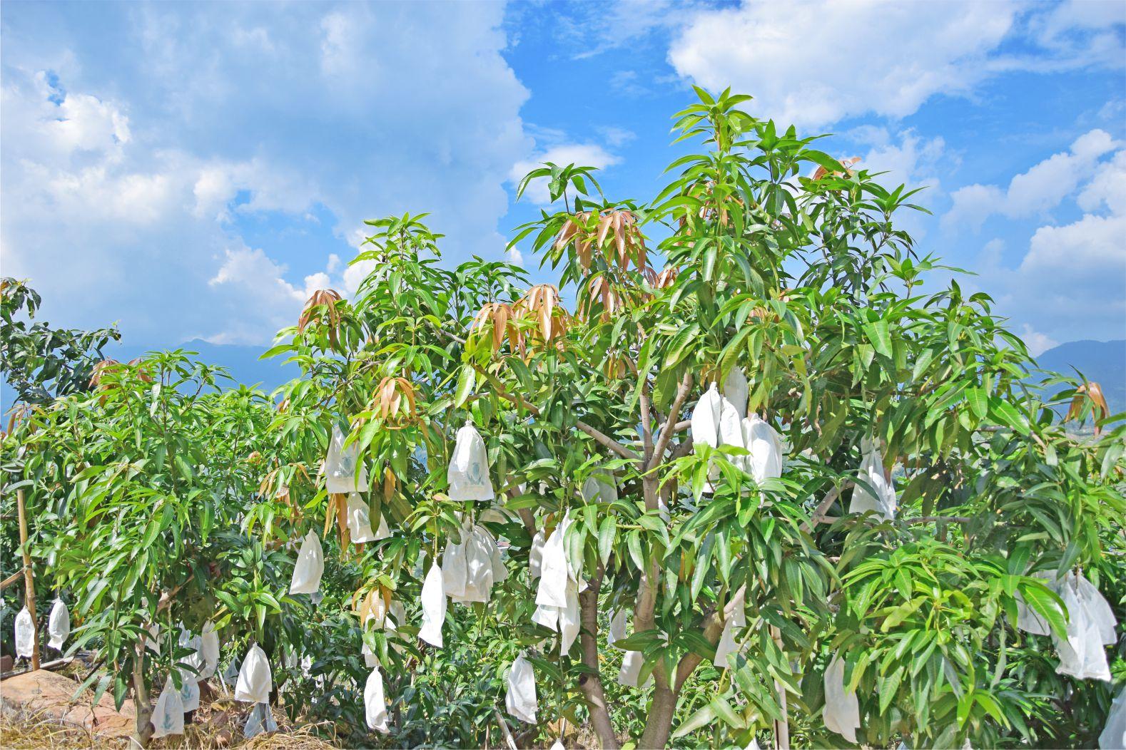攀枝花芒果凯特上市了