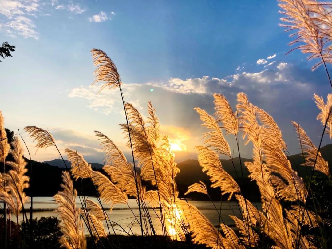 """当摇曳的芦苇遇上金灿灿的夕阳,仁和竟藏着这样的绝美""""秘境""""……"""